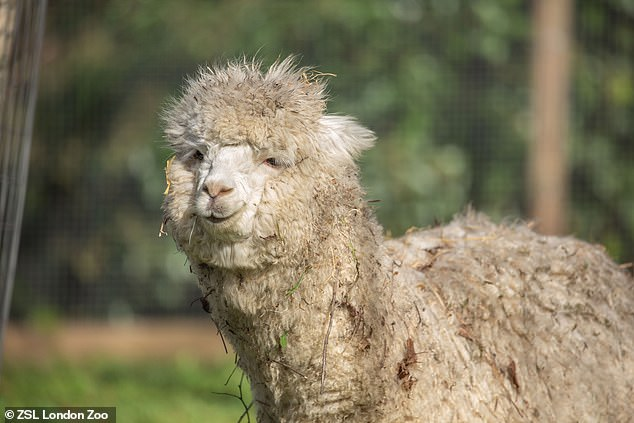 Could this fluffy creature born on April 24 2020 be Alpacaccino, Cusco or Snowball?