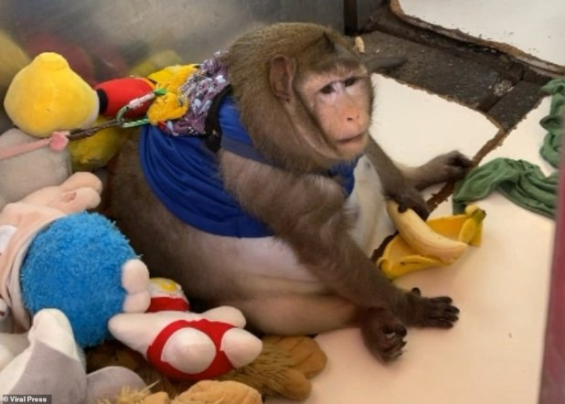 The three-year-old macaque weighs twice as much as an average macaque monkey, which normally weighs between eight and 10 kg, and has been sent to the fat camp to lose weight.