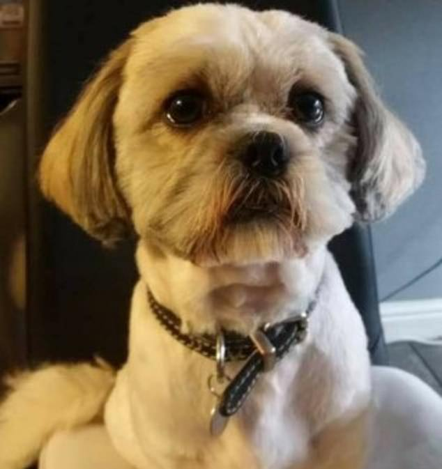 And, earlier this month, a dognapper snatched a pet Shih Tzu, called Jack (pictured) from outside a newsagents in Manchester