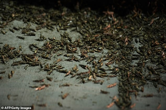 The grasshoppers lifted up after dusk and the radar bounced off the flying swarm as it would any rain droplets and ice crystals