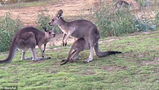 Aunty Uber and Jelly Bean live at Red Box Wildlife Shelter in Elphinstone, Victoria