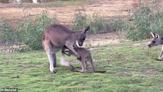 Baby Jelly Bean gave his aunty Winky quite the fright when he tried to jump in her pouch