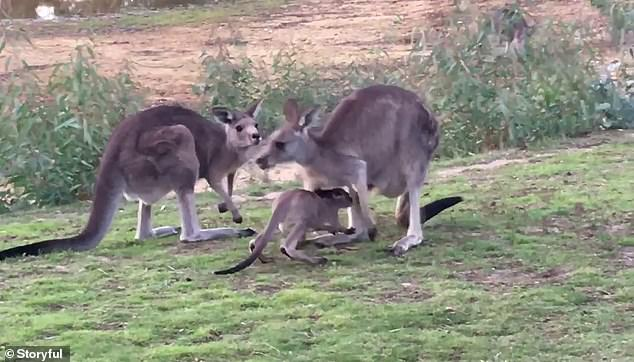 Jelly Bean's mother Aunty Uber quickly came over to give the joey a drink