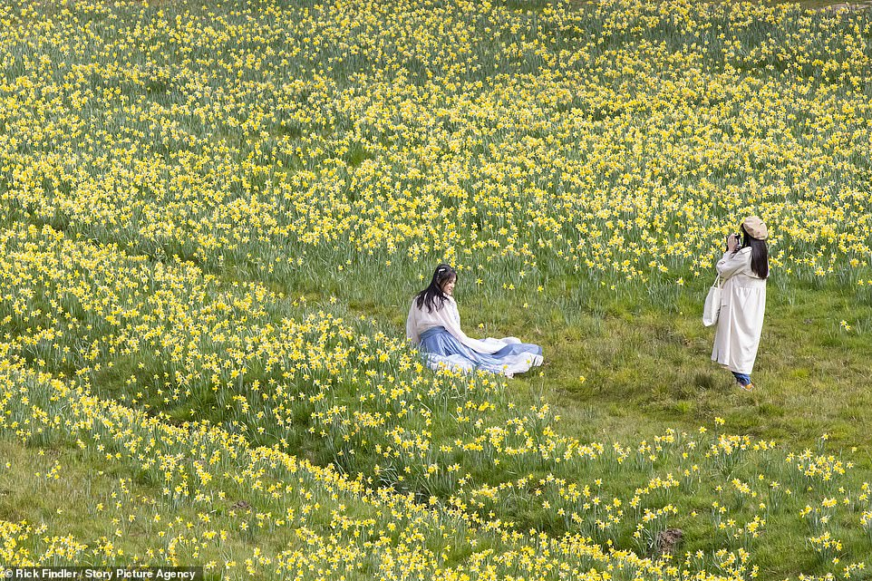 With daffodils blooming in Windsor Great Park earlier today, Met Police warned: 'Don't crowd in open spaces and do follow the rule of six, or, only meet up with one other household'