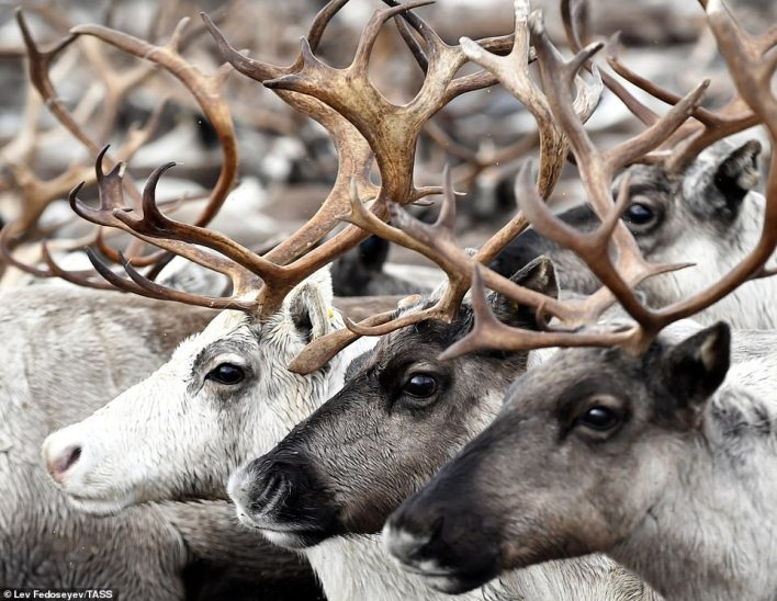 The Sami people who live in Murmansk are well-known as reindeer herders, using the animals for food, fur and to drive their sleds, called pulks