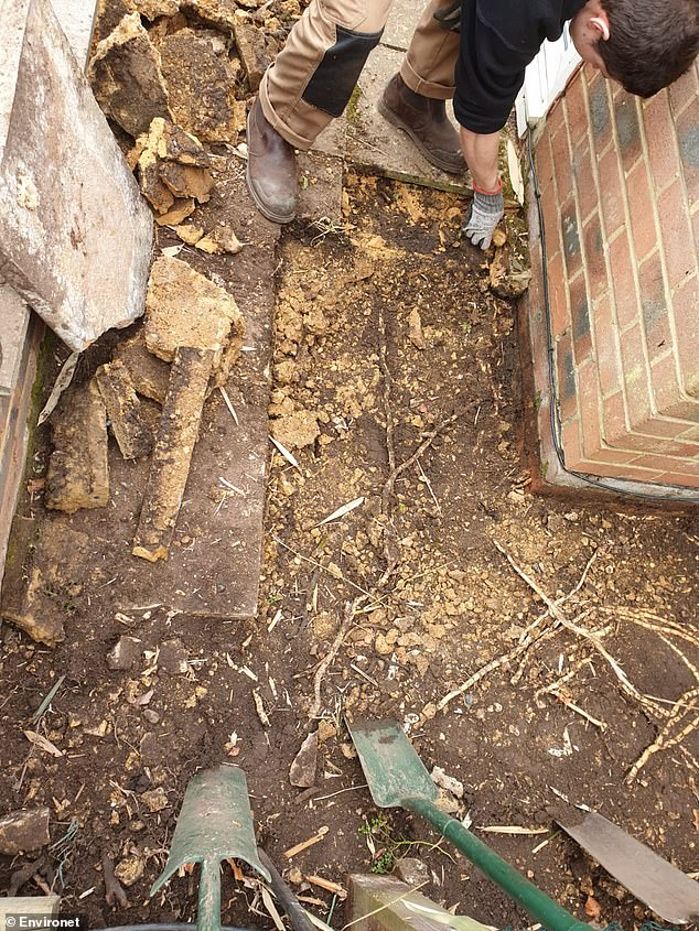 Bamboo can strangle plots of land due to its ability to penetrate brick, masonry, patios and even cracks in concrete. It is capable of thriving in a range of soils, temperatures and environments, with little to no maintenance. Pictured, bamboo roots being excavated