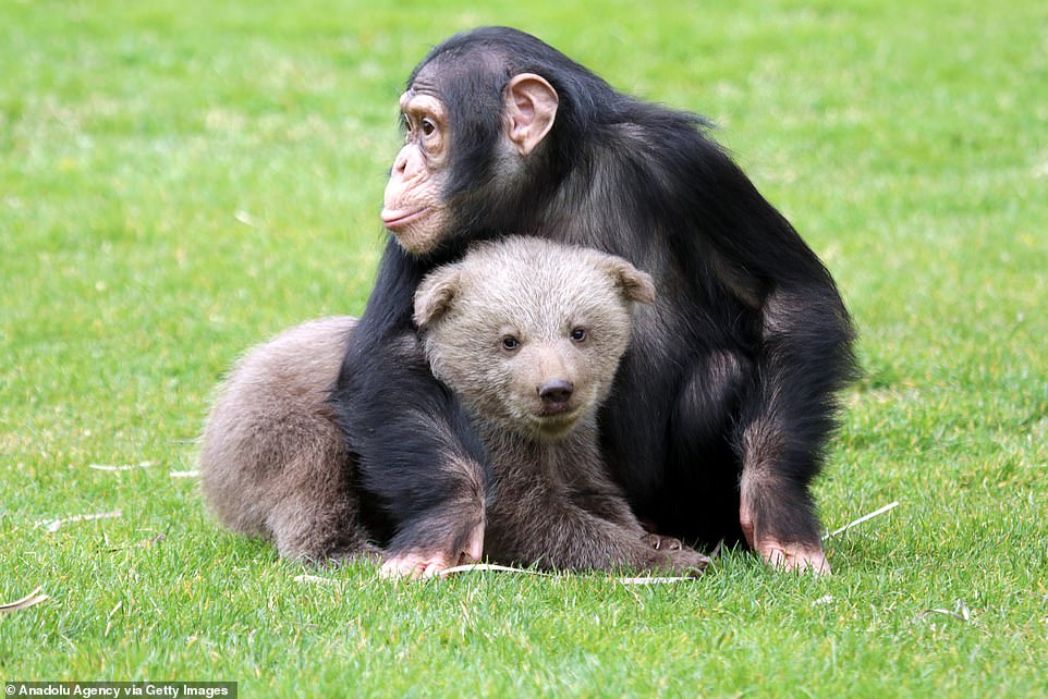 28-day bear cub 'Boncuk', a new resident of the Gaziantep Zoo, is seen with his friend Chimpanzee named 'Can' for socialising in Gaziantep, Turkey