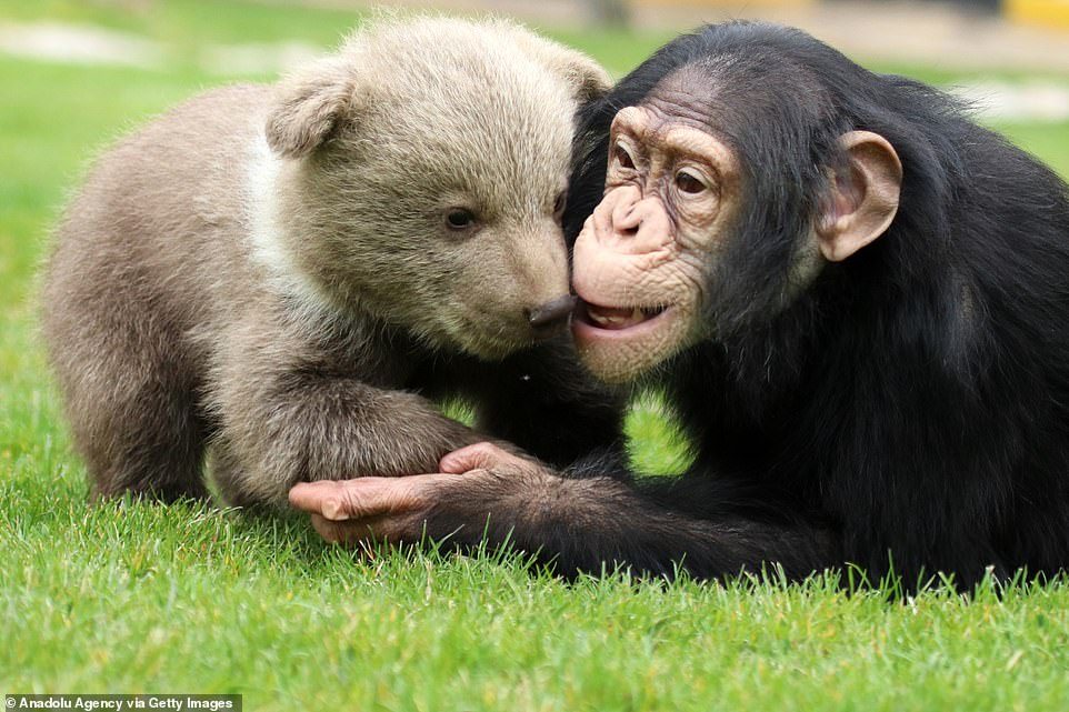 Heartwarming images show the unlikely friendship formed between the rescue bear cub and Chimpanzee