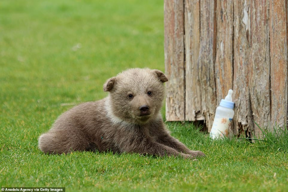 Young bear cub Boncuk is pictured sitting on the grass at the zoo in Turkey, with a bottle of milk placed nearby