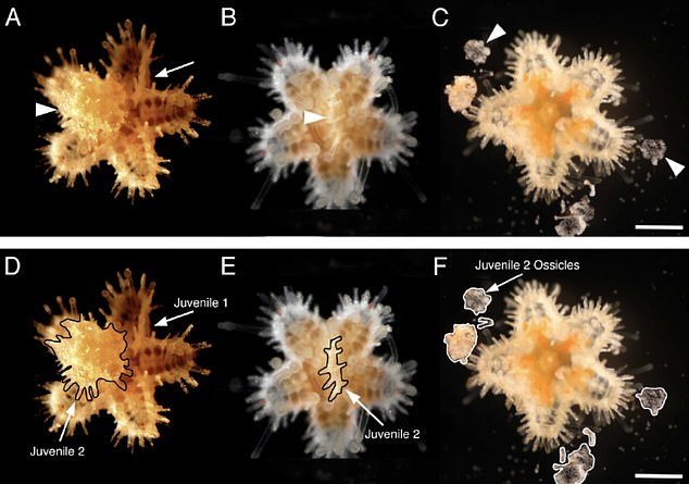 Baby sea stars eat their siblings in what is an unexpected case of underwater cannibalism, according to scientists, who accidentally observed the behaviour