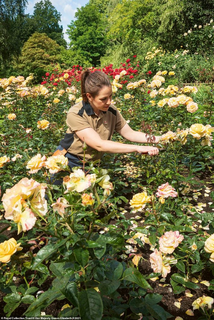Royal Collection Trust's latest publication follows a year in the life of the famous garden at Buckingham Palace, giving readers a rare glimpse into the behind-the-scenes management of this hidden oasis in the heart of London. Pictured: A member of the gardening team tends to the roses