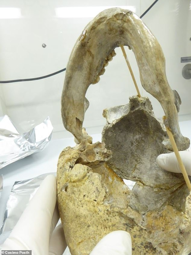 Pictured, micro-sampling the bone of Zlatý kůň from the base of the skull in the clean room at the Max Planck Institute for the Science of Human History