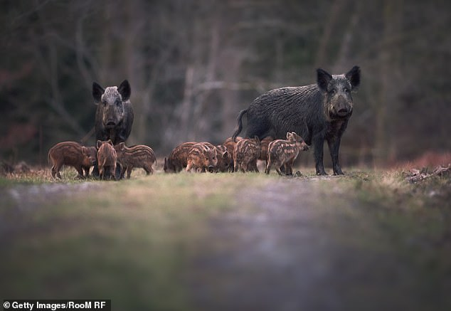 Dr John Dutton, an ecologist at the University of Worcester, told BBC Radio Gloucestershire the biggest boar population in the UK is in the Forest of Dean and he believes that the feral pigs could cross the River Severn and spread to new areas