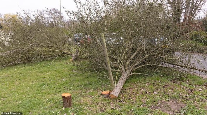 Officers are stumped in their hunt for the culprit, who has felled at least 20 trees in Weybridge and Walton-on-Thames over the last fortnight