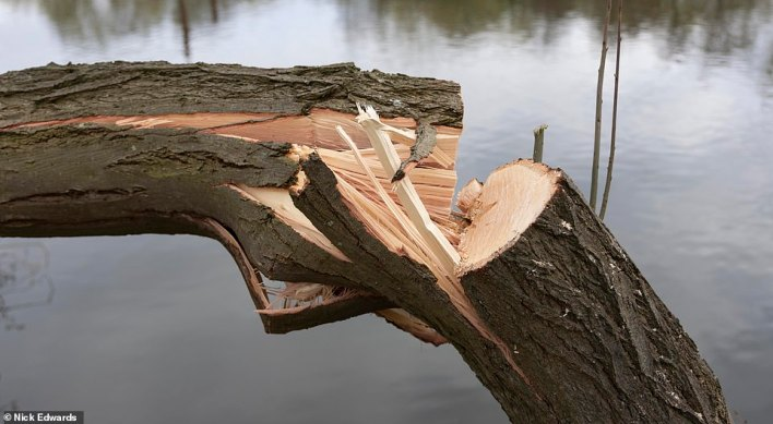 The phantom lumberjack has made their way through a number of trees along the River Thames in Surrey over recent days