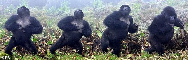 En la foto, cuatro imágenes fijas que muestran a un gorila de espalda plateada macho en Ruanda golpeándose el pecho.  Se cree que cuando los espalda plateada golpean sus torsos musculosos, están transmitiendo su dominio y tamaño a los machos rivales mientras simultáneamente intentan impresionar a las hembras.