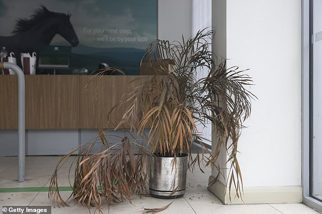 A dying plant in a bank on Oxford Street in London is pictured yesterday ahead of the reopening of shops next Monday
