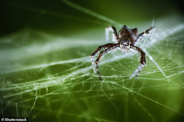 The project is based on a spider web that was spun by a tent web spider (Cyrtophora citricola, pictured)