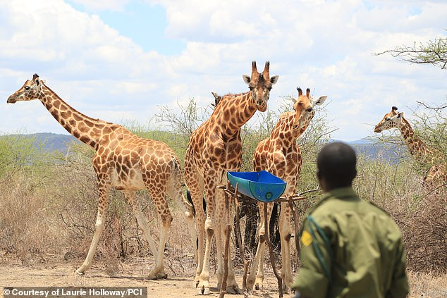 Today, fewer than 3,000 are left in Africa, with only about 800 in Kenya. Pictured is part of the herd that was stranded on the island at their new home at Ruko