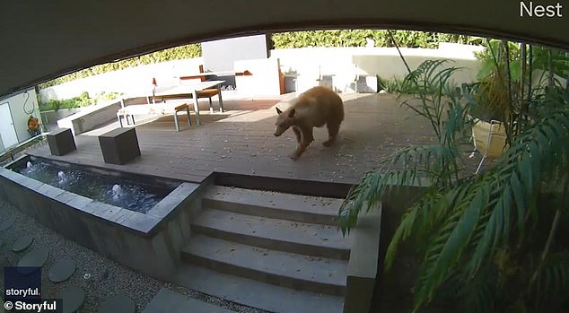 The bear approached Dee Dee Mueller's home in Pasadena, in California
