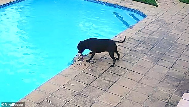 Jessie, a black Staffordshire terrier, was captured on her owner's CCTV pulling her furry friend Chucky out of their pool after he fell in