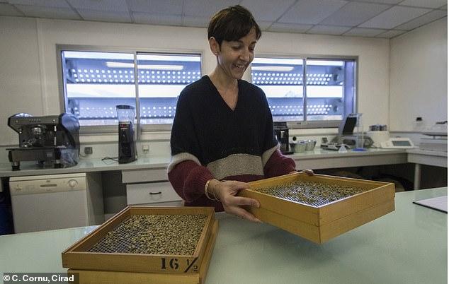 Sorting of Stenophylla green beans before roasting at CIRAD's sensory analysis laboratory (© C. Cornu, Cirad)