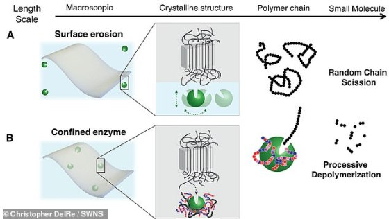 To make the biodegradable material, wrapped enzyme nanoparticles are incorporated into their billions in the resin beads which are the starting point for all plastic manufacturing - similarly pigments are used to color plastic.  'If you only have the enzyme on the surface of the plastic (as the top shows), it would etch down very slowly,' explains Professor Xu.  'You want it to be distributed nanoscopically everywhere (bottom) so they all need to eat away their polymer neighbors, and then the whole material breaks down'