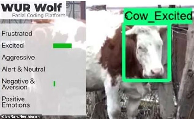 Deep learning algorithms were used to identify 13 facial actions which included difference in an animal's ears, eyes and behaviour., Pictured, an excited cow