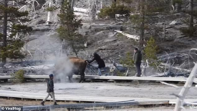 A few seconds later, the woman is seen attempting to pet the bison before quickly pulling a way when it swatted at her with its tail