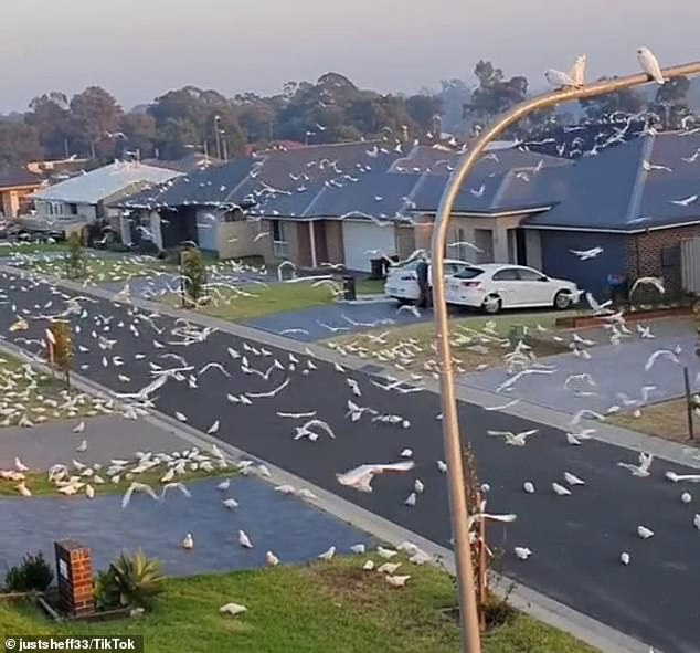 The amazing clip showed thousands of corellas wandering, eating, resting and swooping around the suburban street on the New South Wales South Coast