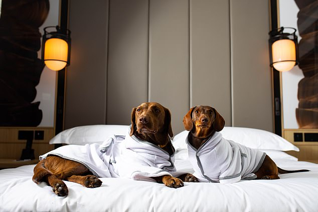 Dog owners can now dry their pooches off in five-star-hotel style, thanks to Tielle Love Luxury's doggy bathrobes, pictured