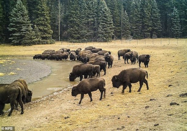 Aerial surveys have observed about 400 to 600 bison in this particular hard terrain, which could increase to about 1,500 in the next 10 years.