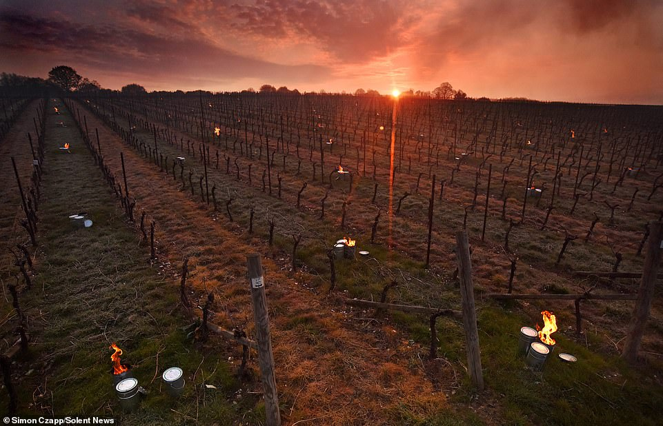 Sunrise over the burning bougies in amongst The Grange Hampshire vines