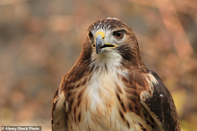 Among the dead birds of prey were red-tailed hawks, above, an owl and an rare migratory ferruginous hawk. Raptors are protected under California state law due to their status as a valuable resource