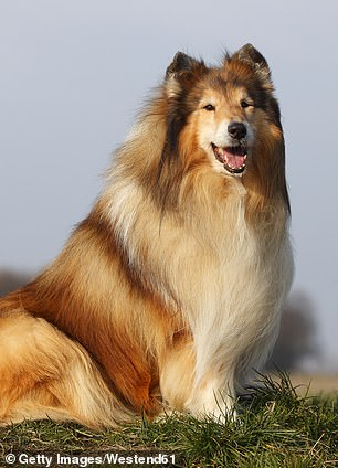Pictured, a Rough Collie, the most aggressive dog breed, according to a new study