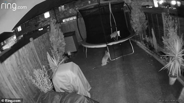 The foxes were filmed on a Ring Stick and Go camera which was covering the rear garden. When the cameras sensed movement they began filming