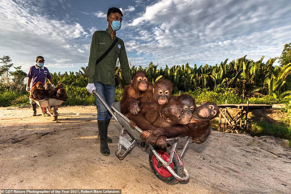 This captivating image put Robert Marc Lehmann from Germany on the silver-medal podium position in the We Are Family category. He took the shot while visiting an orangutan orphanage in Borneo - and called it School Bus