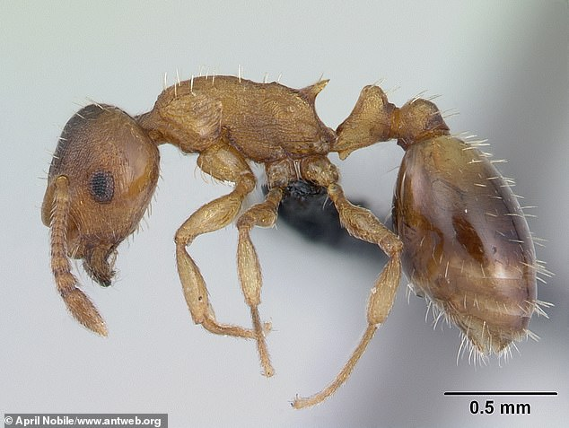 A parasite, the Anomotaenia brevis tapeworm, can actually extend a Temnothorax ant's life up to a decade or two, approaching the age of a queen
