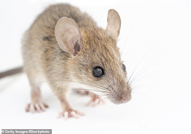 Researchers at Saint John's University believe the 'widowed' female mice are gun-shy 'based on the previous experiences they have faced'
