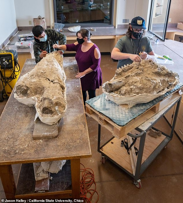 The mastodon skull (pictured here with the tusks on the left and the rest of the skull on the right), will go on display at the California State University, Chico's Gateway Science Museum