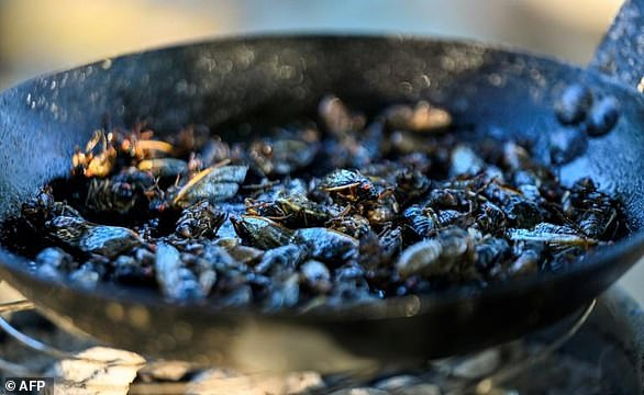 Cicadas are fried as they are prepared for the sushi recipe