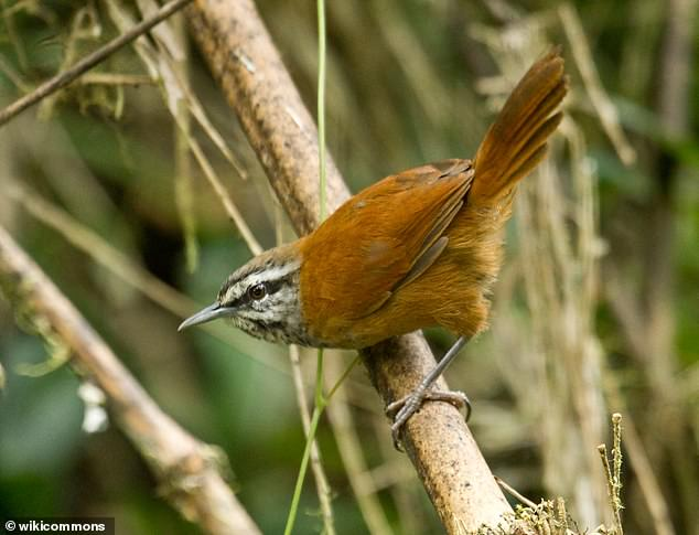The birds, native to Ecuador, synchronise their frenetically paced duets, by inhibiting the song-making regions of their partner's brain as they exchange phrases