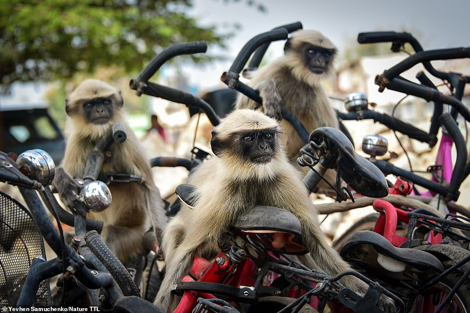 These cheeky langurs were snapped by Yevhen Samuchenko in the small Indian town of Hampi. Yevhen says: 'My friends and I were walking in the centre of Hampi and there was a bicycle parking area nearby. Suddenly a group of langurs jumped on these bicycles and began to frolic around. We were afraid to frighten them away, so I started taking pictures from afar. But then we came very close to them and the langurs continued to play with bicycles for a comical shot.' The image is highly commended in the urban wildlife category