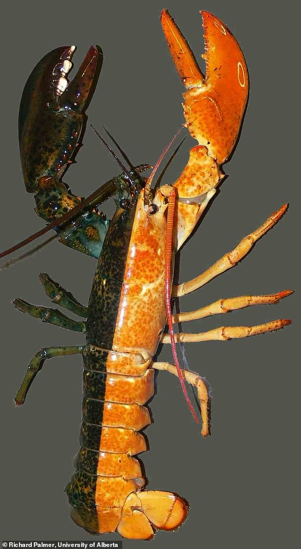A gynandromorph lobster with yellow (male) coloring on one side and brown (female) on the other