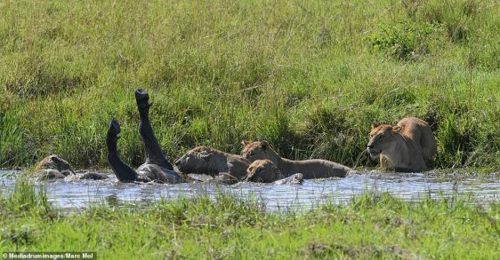 The buffalo was pictured lying in the water with its legs in the air while the four ruthless lionesses tucked in to their prey in Tanzania