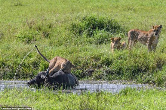 They were joined by two further members of the pride who stood on the bank while the another lion sat on the back of the buffalo
