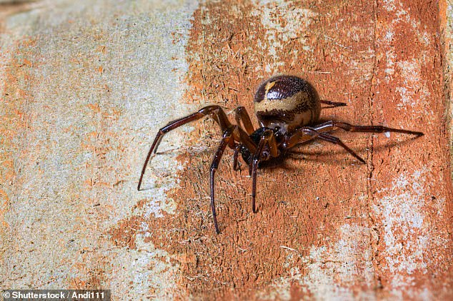 'In addition to their medically significant venom, noble false widows are extremely adaptable and competitive in the wild,' said Michel Dugon of the National University of Ireland, Galway