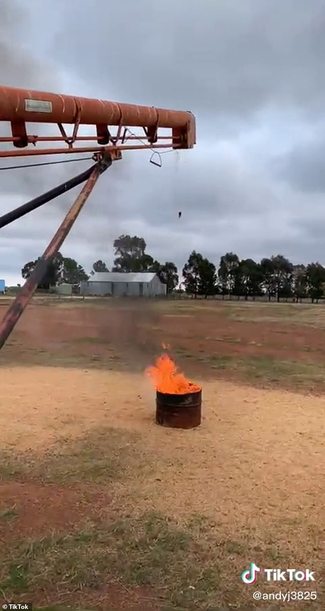 Extreme: A still from farmer Andrew's TikTok video shows a mouse dropping from the grain conveyor into a barrel containing a fire. The video went viral with over 5 million views