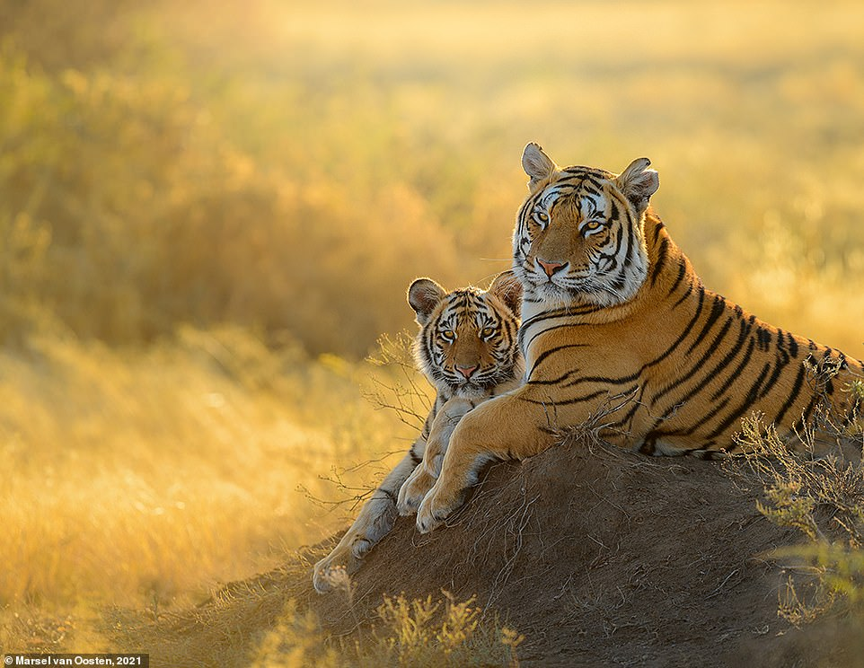 This majestic image of a tiger and her cub was snapped in South Africa. Marsel reveals: 'Tigers are like humans - they all have different characters, and different behaviour. Over the years, I have spent a lot of time with this particular female as she was not only very pretty but also very relaxed. As a result, her cubs were also very relaxed almost from the moment they set foot outside their den for the first time'