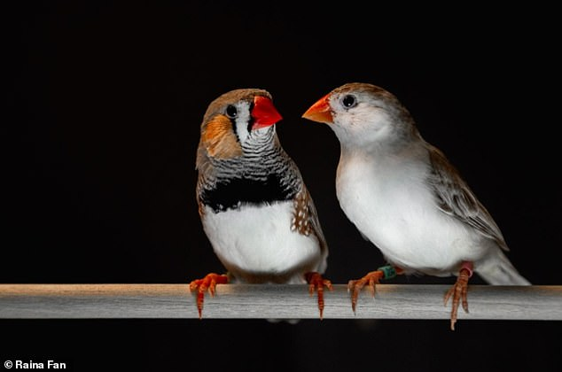 Adult male zebra finches (left) learn their songs and use them during courtship interactions with females (right).